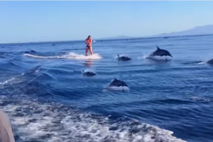 wakeboard with dolphins