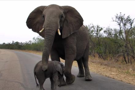 elephant calf protect